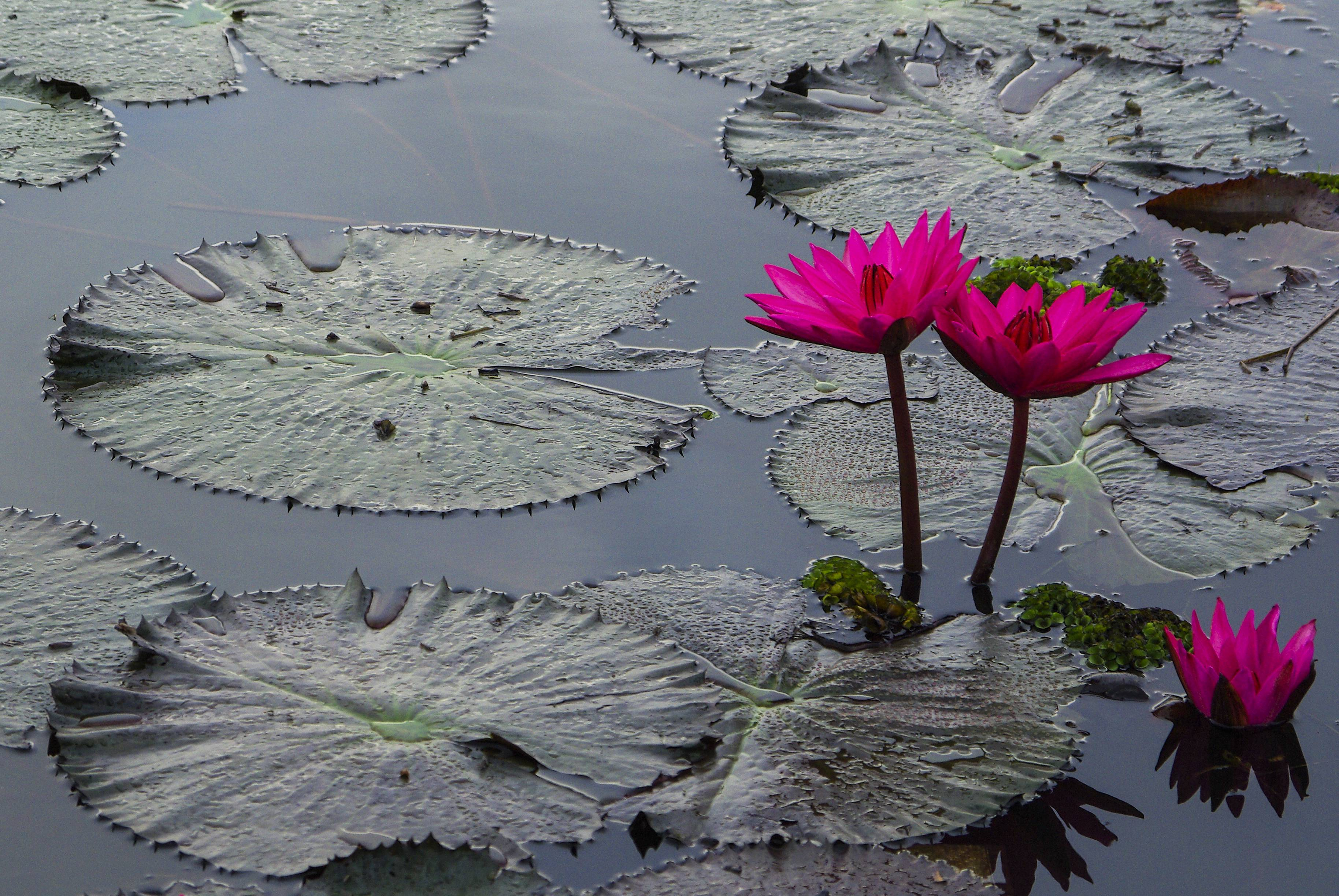 Lotus Flower Blossom In The Sunrise Vital Body Therapy